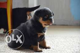 super rottweiler puppies