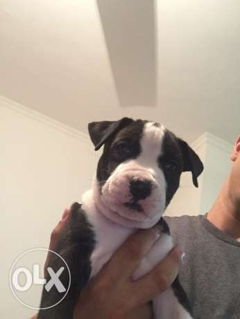 pitbull puppies for sale الغردقة -  8