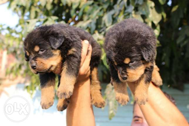 Pure Rottweiler puppies for sale القاهرة -  4