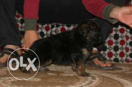 Gsd puppies Imported parents Red colours Strong bones Long hair For m