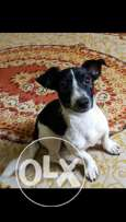 jack Russell male 8 months for sale