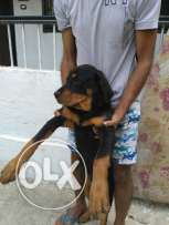 Rottweiler Amrican for sale