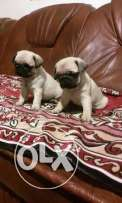 For sale puppies pug imported with all documents fci