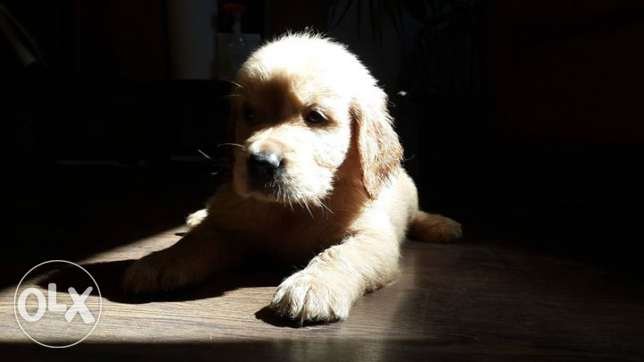 golden retriever puppies وسط القاهرة -  5