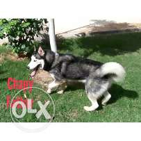 male Seberian Husky for sale or mating