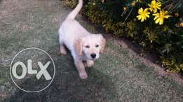 Golden retriever puppies 70 days vaccinated and dewarmed