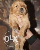 Golden Retriever puppies for sale high quality pure breed