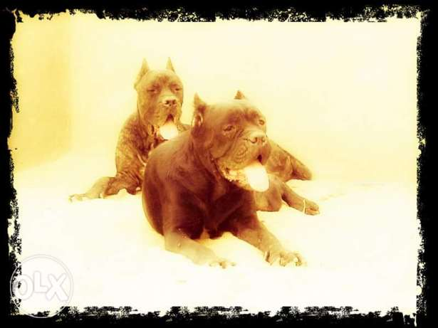 Cane Corso Imported Champions, Male 3 yrs, female 2 yrs, with pedigree 6 أكتوبر -  2