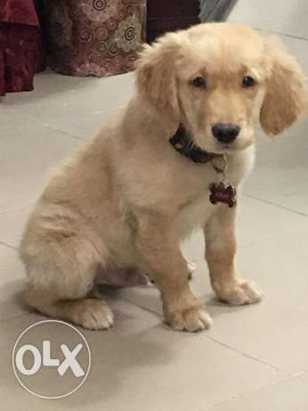Male purebred golden puppy For sale