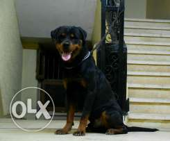 Male rottweiler