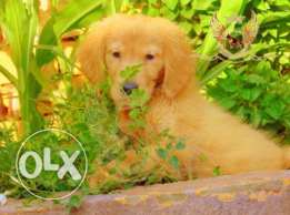 جراوى جولدن Golden Retriever