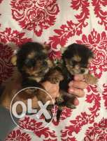 Mini Yorkshire puppies for sale