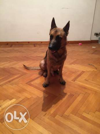 cezer german shepherd الإسكندرية -  2