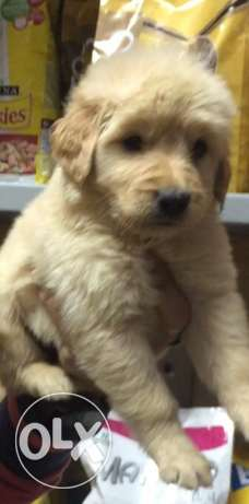 golden retreiver puppies الإسكندرية -  2