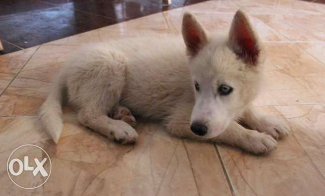 siberian husky puppie for sale التجمع الأول -  3