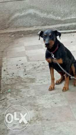 Male Doberman pure bred for mating دوبر مان للزواج اول مره تقليب عالي