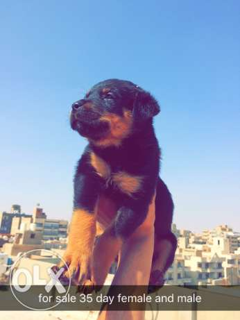 rottweiler for sale 35days