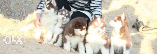 husky puppies high qualit مدينة الرحاب -  1