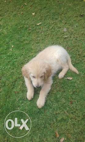 Golden retriever puppy for sale