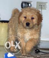 Pure golden retriever puppies for sale at 59 days vaccinated and dewor