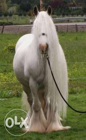 need a gypsy horse in egypt وسط القاهرة -  4
