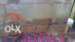 Fish Tub, Fan-tail Golden Fish and Grey Fish