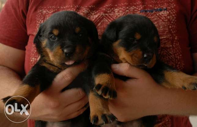 for sale rotwieler puppies