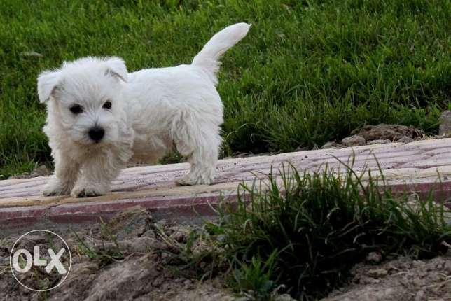 West Highland White Terrier from Europe القاهرة الجديدة - أخرى -  3