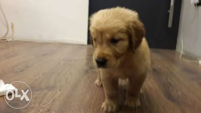 golden retriever puppies وسط القاهرة -  3