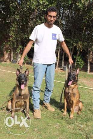 puppies belgium malinois