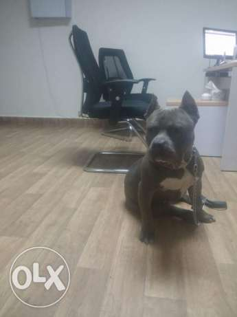 American bully ( Rocky) for mating only سابا باشا  -  3