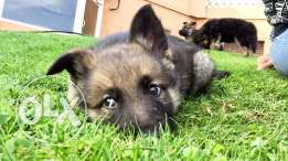 german shepherd puppies for sale, 2 months old, males