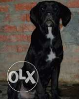 canecorso bubbies male and female --- father : blade son of broot