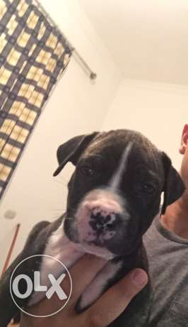 pitbull puppies for sale الغردقة -  2