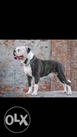 Bully Johnson bulldog for sale مدينة الرحاب -  1