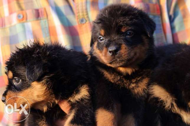 Pure Rottweiler puppies for sale القاهرة -  3
