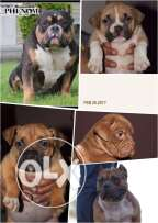 For sale in Alexandria Best puppys American Bully M