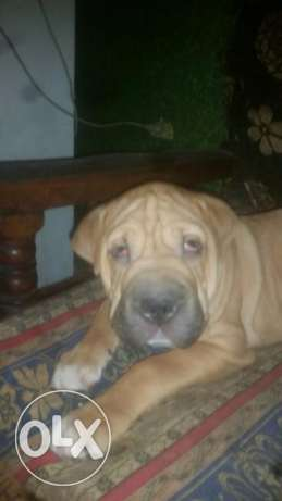 Cane Corso dog for sale