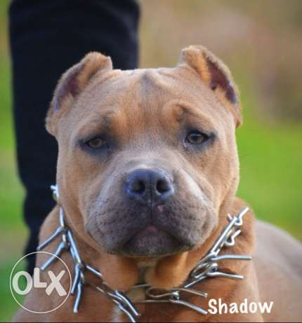 top breed male standard american bully 8 month