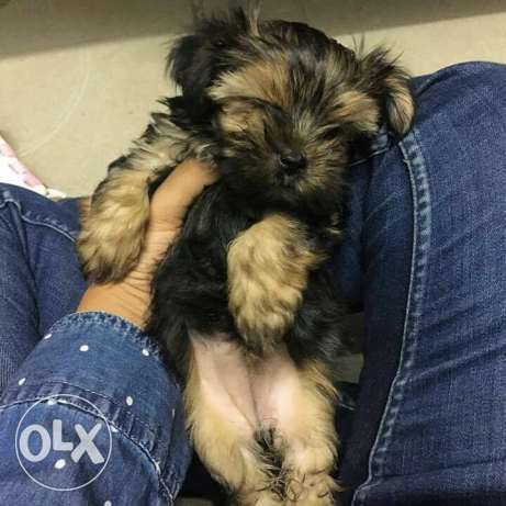 pure Yorkshire terrier black male مصر الجديدة -  3