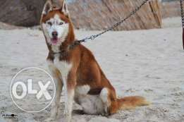 For sale Siberian husky male Brown blue eyesللبيع دكر هاسكي بنى