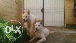 White.German male and female for sale