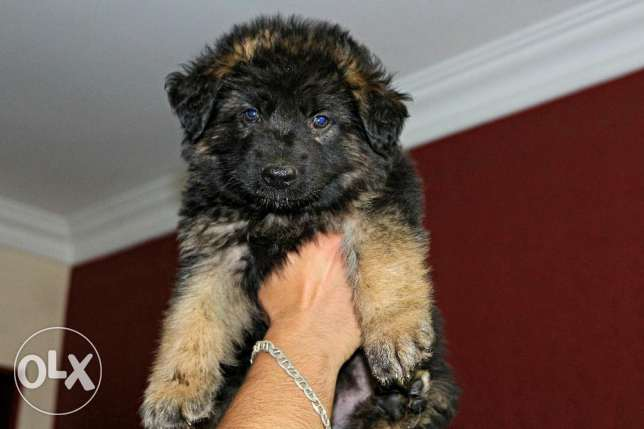 baby german shiprd pure for sale الهرم -  1