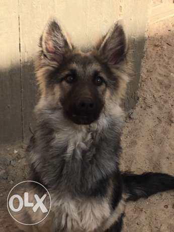 German shepherd longhair