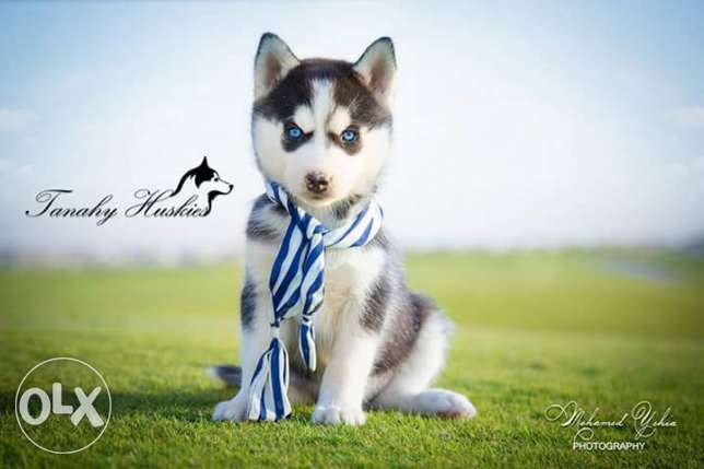Husky puppies for sale pure breed مصر الجديدة -  4