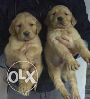 golden retreiver puppies
