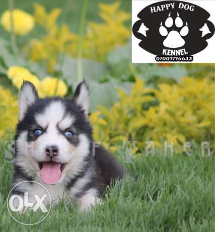 super hight qualty husky puppies imported parents with fci pidgree