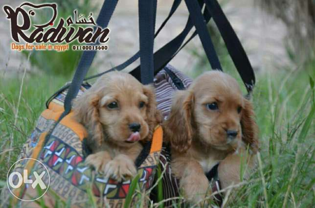 Cocker puppies for sale
