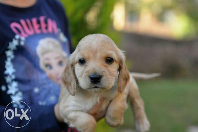 Cocker Spaniel puppies Ready for new homes مدينتي -  4