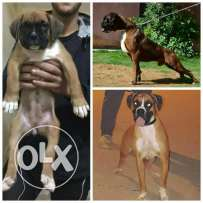 Female Boxer for sale 45 days